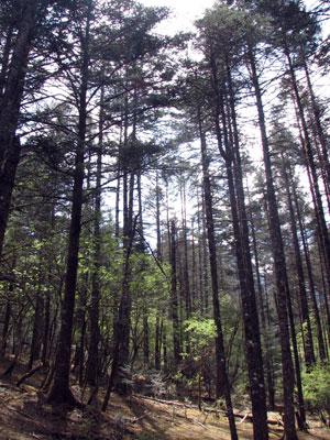 雲杉坪針葉樹